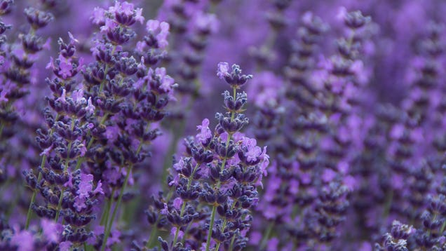 The Difference Between French and English Lavender, And Which Variety to Plant in Your Garden